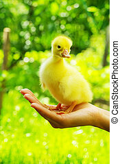 gosling in the hand - a yellow fluffy gosling in the hand