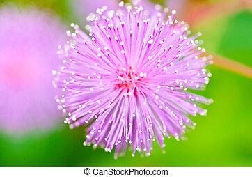 sensibile, pianta, -, mimosa, pudica, verde, natura