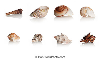 Collection Shells Marine Mollusks, eight different gastropod...