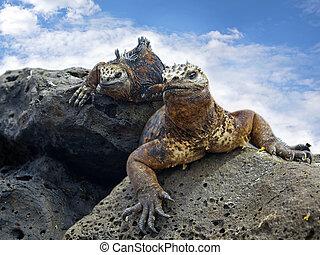 Galapagos marine Iguanas - Portrait of two Marine Iguanas on...
