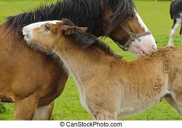 Shire Horse and Foal in field in Peak District National Park...