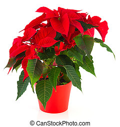 Red Christmas Poinsettia - red Christmas Poinsettia plant...