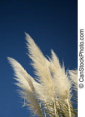 Pampas Grass - Bright white plume of Pampas Grass against a...