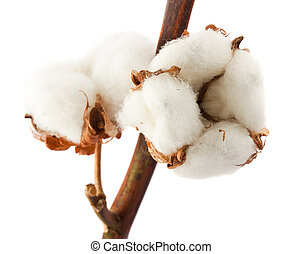 Cotton bolls - Closeup cotton bolls isolated on white...