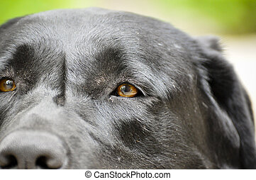 Black Lab - Droeppie - Up close