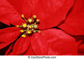 Poinsetta - Red poinsetta flower seen around Christmas time