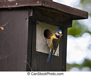 Blue tit at a birdhouse
