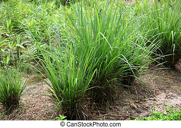 Lemongrass - Cymbopogon citratus, commonly known as lemon...