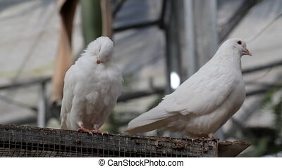 White doves - Two white dove in the park