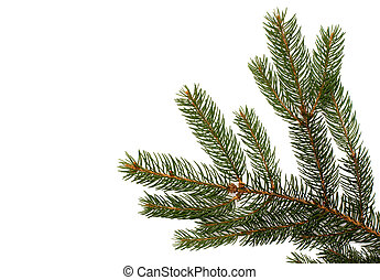 Fir tree branch on a white background. Close up. Christmas...
