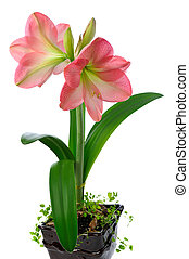 blooming amaryllis - blooming pink amaryllis in ceramic pot...