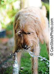 Dog Drinking Water From Faucet - Dog in backyard drinking...