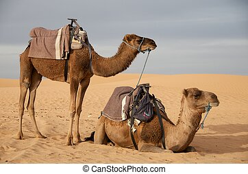 2 Camels (4) - 2 Camels in the Sahara in Morocco