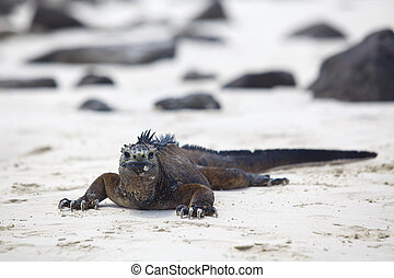 Galapagos marine Iguana - A marine iguana walking on the...