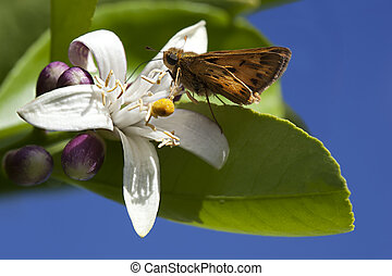 California Lemon Blossom With Butterfly
