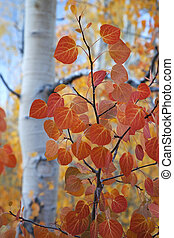 Red Aspen Leaves - Close view of deep red Aspen leaves,...