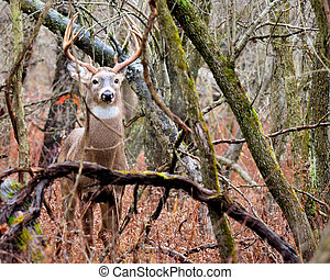 Whitetail Deer Buck standing in a thicket in the rain