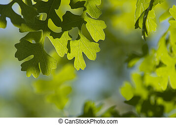 Backlit Spring Oak Leaves - Back lit Spring oak leaves as...