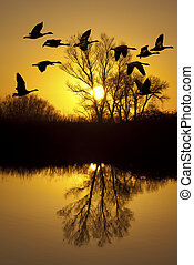 Canadian Geese at Sunset - Canadian geese silhouette at...