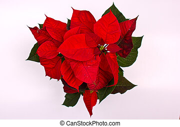 Christmas Flowers Poinsettias with green leaves