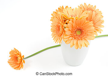 African daisy - Orange african daisy flower on a white...