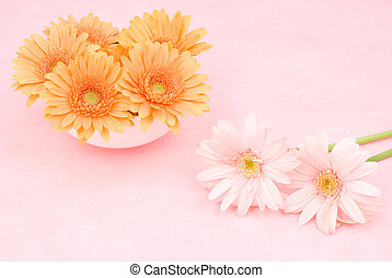 African daisy - Two colors african daisy flower on a pink...