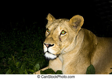 Lioness at night - Female lion (Panthera leo) eats meat at...