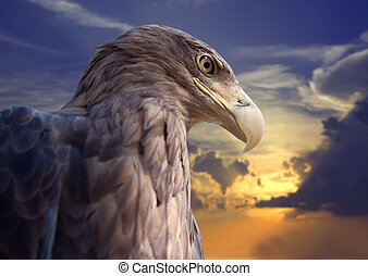 Head of eagle against sunset - Head of white-tailed eagle...