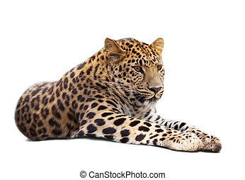 leopard over white   - lying leopard over white background