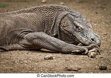 komodo dragon in natural habitat - komodo dragon in Rinca...