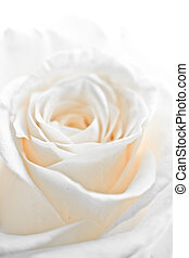 white rose petals - a close-up of white rose petals