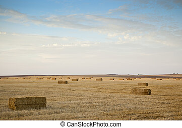 Barley field harvested at sunset - Barley stubble in arable...