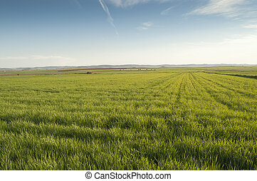 Barley crop in Ciudad Real province, Spain