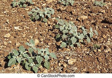 Chrozophora tinctoria - C. tinctorea is a common weed in...