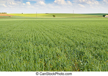 Wheat crop in an agrarian landscape in Ciudad Real Spain
