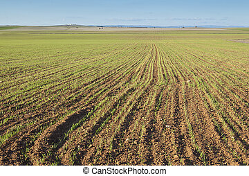 Barley growing on a field in Ciudad Real province, Spain