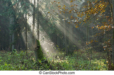 Autumnal stand with mist and sunbeams - Autumnal stand of...