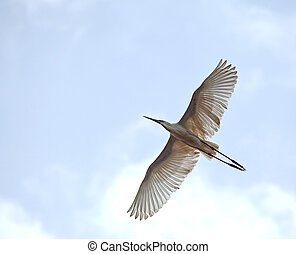 Great White Egret in flight in The Gambia