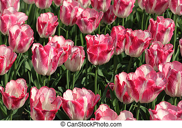 closeup of flowerbed with bright beautiful pink and white tulips