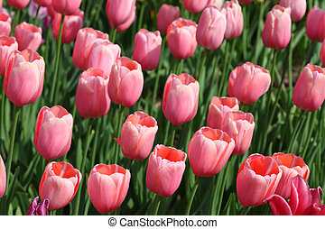 closeup of flowerbed with bright beautiful pink tulips,...