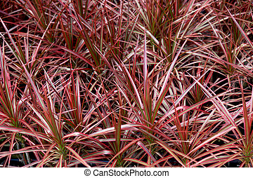 Dracaena marginata tricolour or Rainbow Tree is a striking...