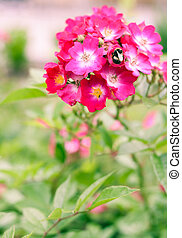 Bumble bee gathering pollen from the bright pink blossoms of...