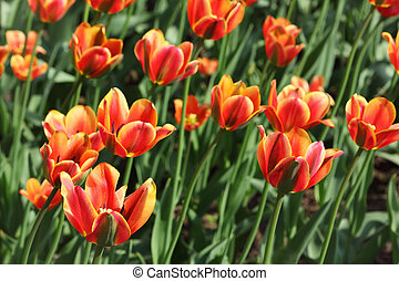 closeup of flowerbed with bright beautiful orange tulips, Threecolored Beauty sort