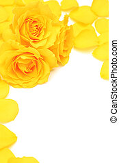 yellow rose  - I took a yellow rose in a white background.