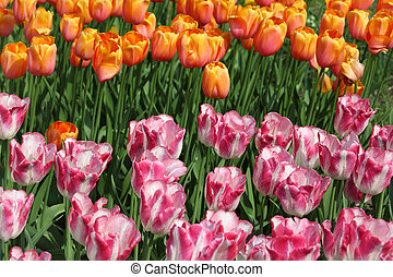 closeup of flowerbed with bright beautiful pink and yellow tulips