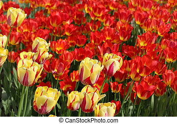closeup of flowerbed with bright beautiful yellow and red tulips