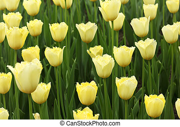 closeup of flowerbed with bright beautiful yellow tulips