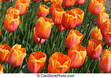 closeup of flowerbed with bright beautiful orange tulips, Yuri Gagarin sort