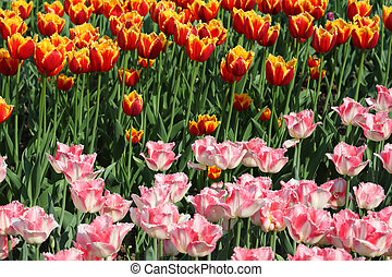 closeup of flowerbed with bright beautiful pink and orange tulips