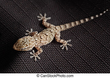 brown spotted gecko reptile on black fabric, front view